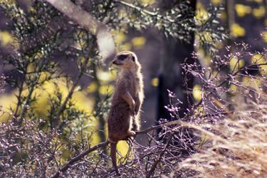 Meerkat by AinsleyFerin