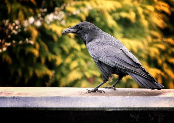 Raven by Tjabula
