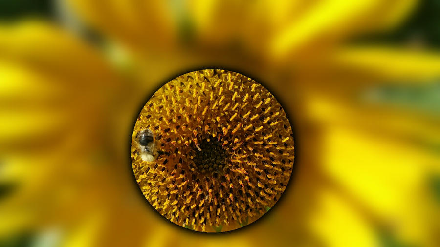 Hummel und Sonnenblume by Tjabula