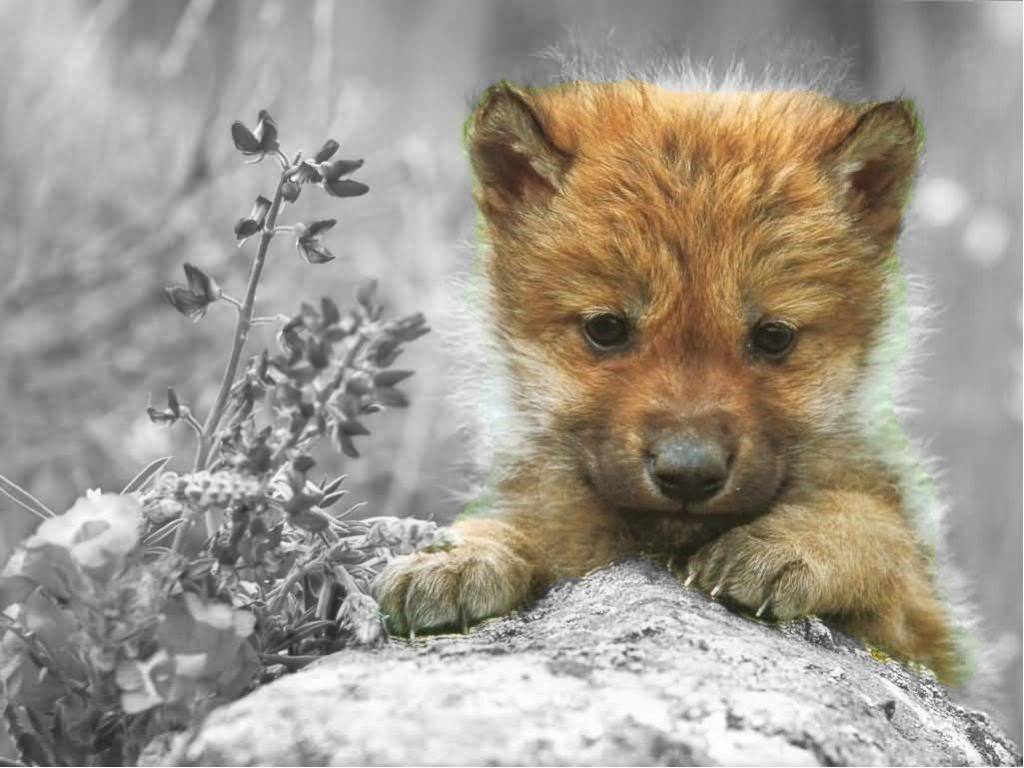Cute wolf pup by asdfghjkllo on - 92.6KB