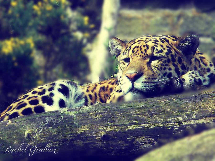 Leopard by RachelG66