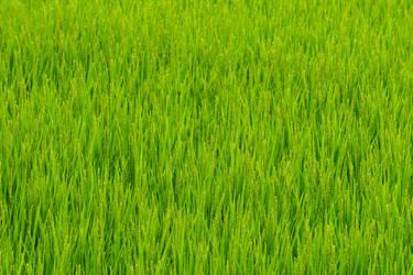 Japan Paddy field in summer by stephane-bdc