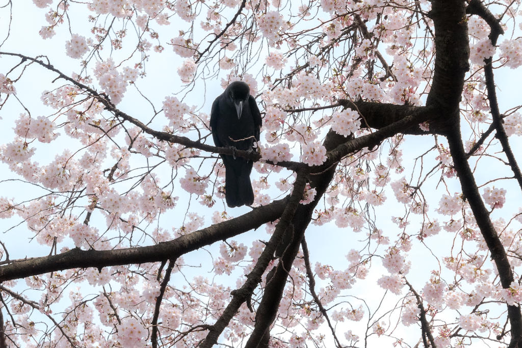 Master of the sakura. by stephane-bdc