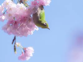 Mejiro bird in the cherry blossoms - Tokyo by stephane-bdc