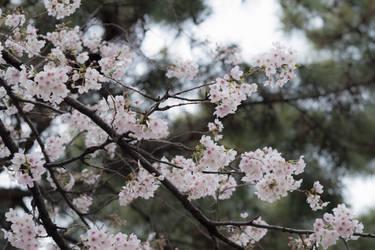 Beautiful Japanese Sakura Cherry blossom 2019 by stephane-bdc
