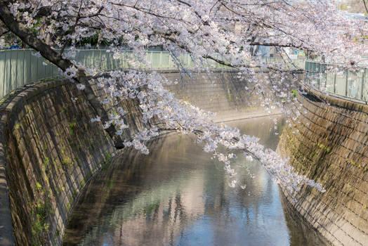 Beautiful Japanese Sakura Cherry blossom 2019