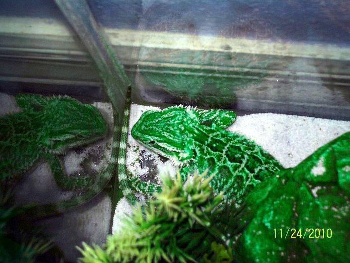 Green bearded dragons - photo#8