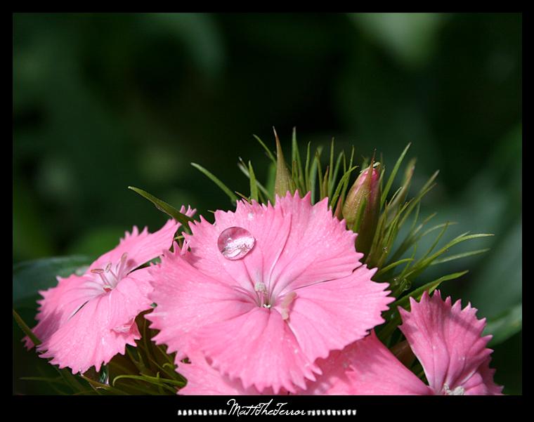Pink Purity. by MattTheTerror