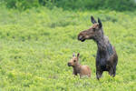 Mother Moose and Calf-DT7 3729-2