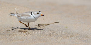 Piping Plover DT6 7087-1