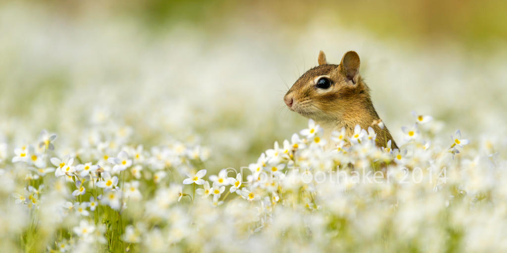 Mayflowers and Chipmunk DT6 7600-1-2 by detphoto