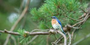 Bluebird DT61309