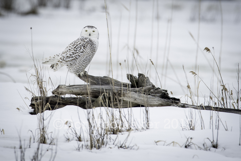 Alert Snowy DT61158 by detphoto