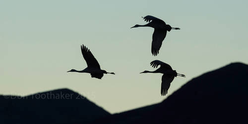 Silhouetted Flight D4S2337-1-2