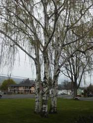 Trees random