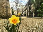 Lovely Daffodils