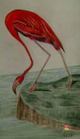 Coral flamingo by vafiehya