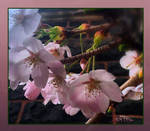 spring blossom by vafiehya