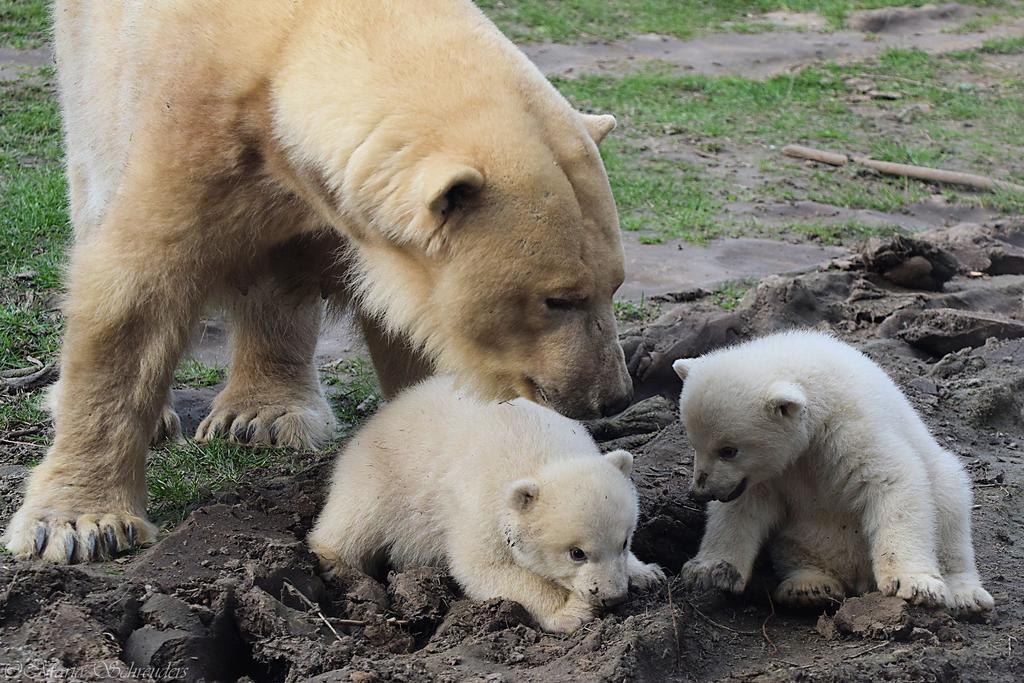Polar Bear 2 By Maria Schreuders Dd15fi4-fullview