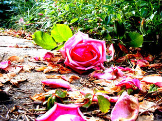 Roses by agoria