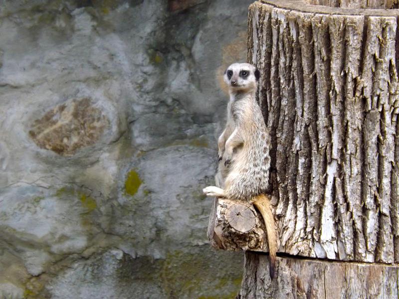 Meerkat Lookout by Tweetspie