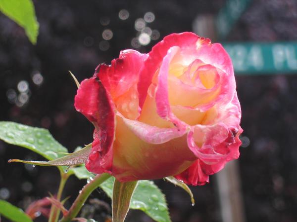 Rose Pic V.1 by mochafrozen