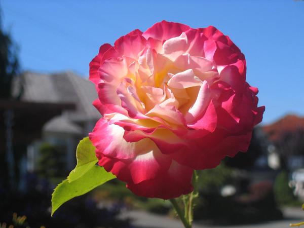 Rose V.2 by mochafrozen