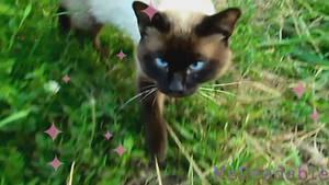 A Cute Siamese Cat