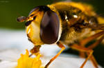 hover fly - portrait by Rapierr