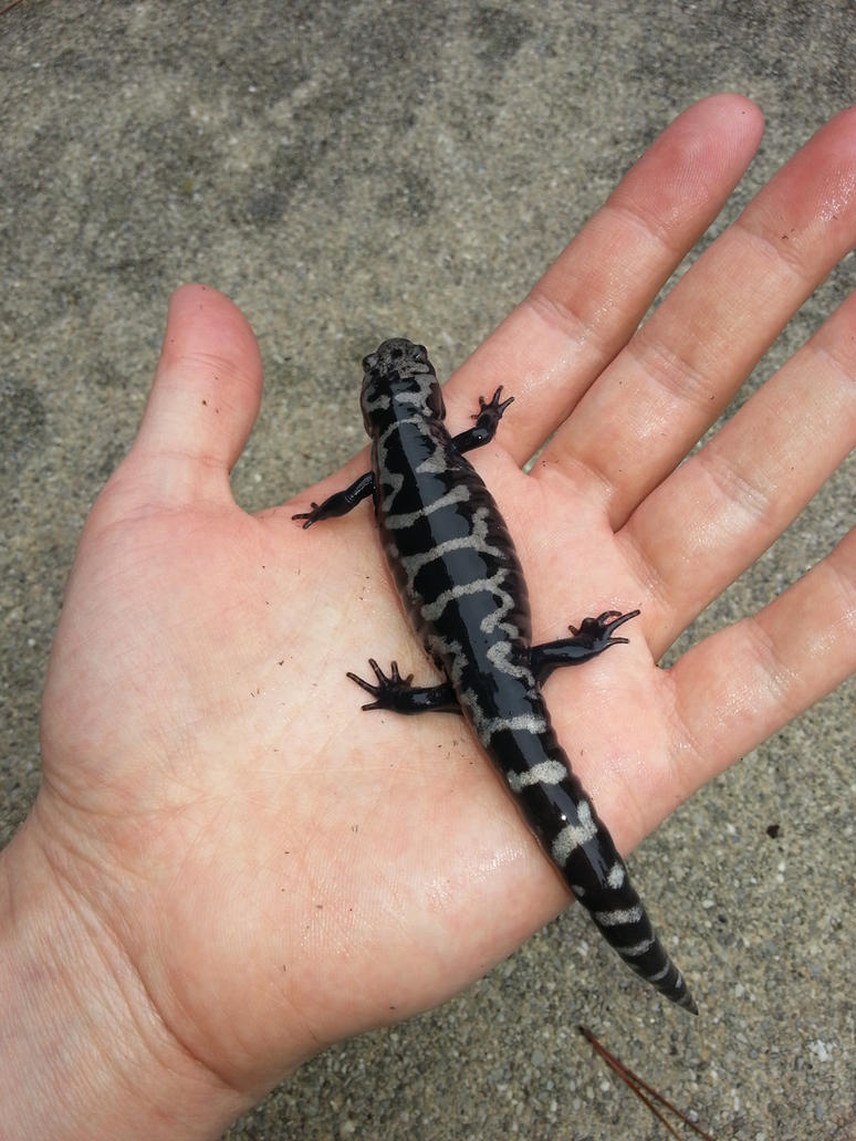 Weller's Salamander (Adult) 2 by rharzar