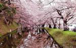 Cherry Blossom's Bridge