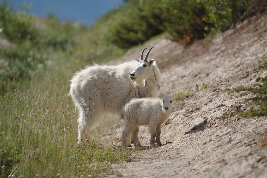 mountaingoat family