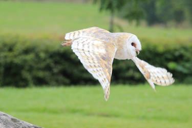 Snowy Owl (4) by Topaz172