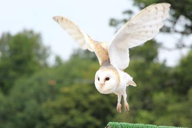 Snowy Owl (3) by Topaz172