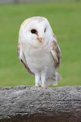 Snowy owl 5 by Topaz172