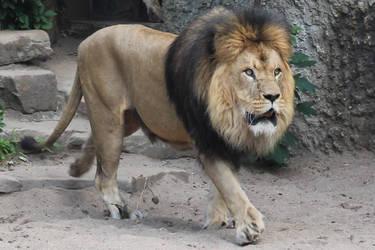 Lion1 by Topaz172