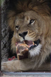 Lion lunch by Topaz172