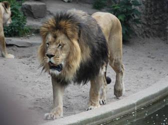 lion 3 by Topaz172