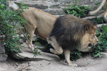lion by Topaz172