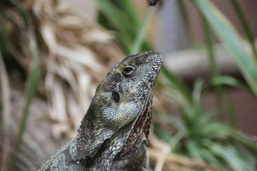 Lizard by Topaz172