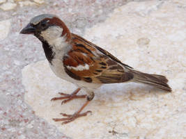 Male House Sparrow by lucybaxter