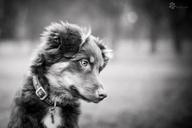 Black and white aussie by Rozowynos