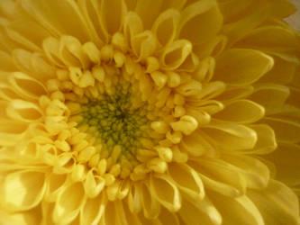 chrysanthemum by ayuuaaa