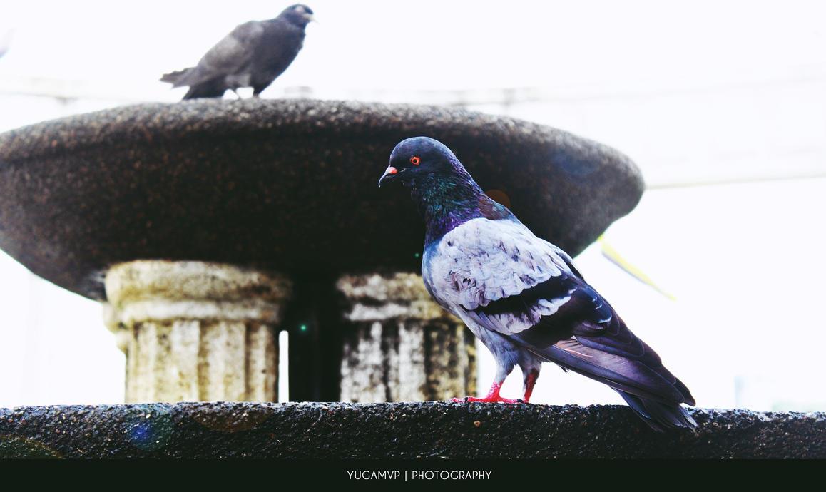 Pigeons by yugamvp