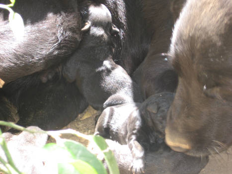 Ebony And Her Pups