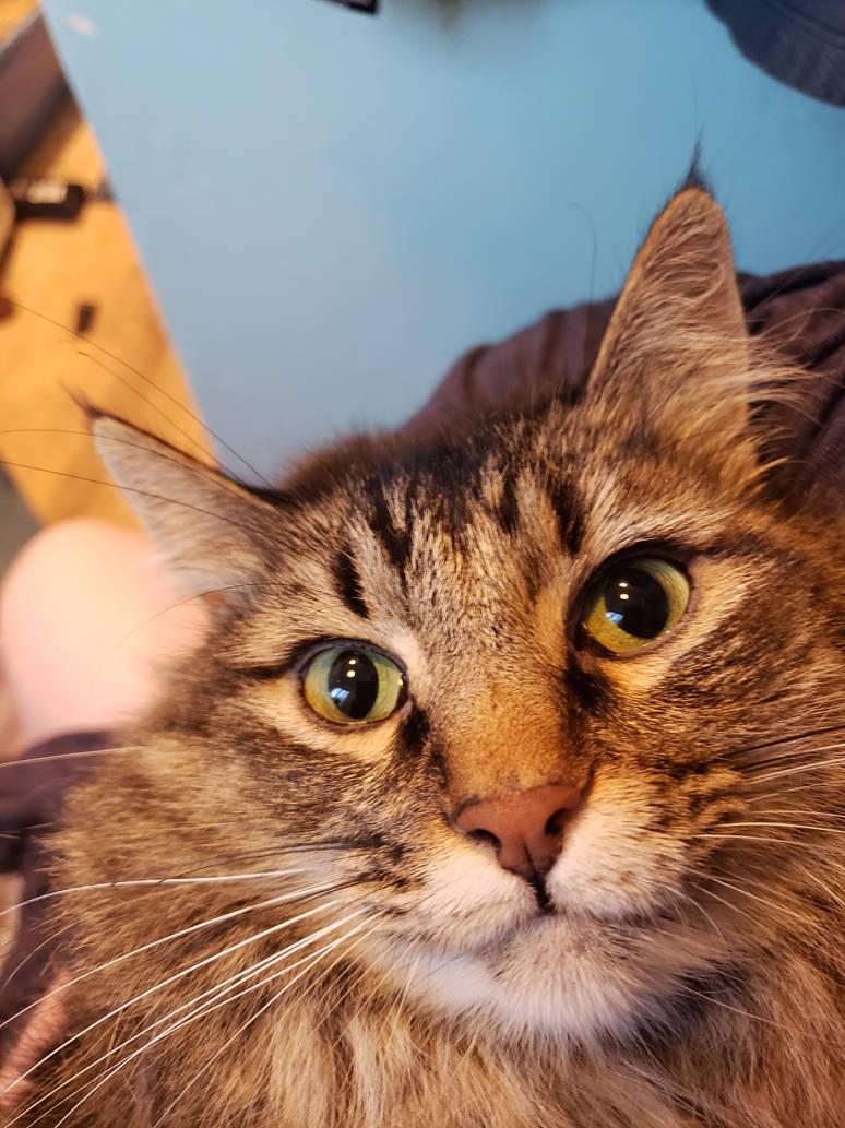 My Cat: Honey Badger by JZFranklin