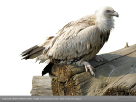 PNG STOCK: Vulture by MAKY-OREL