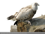 PNG STOCK: Vulture