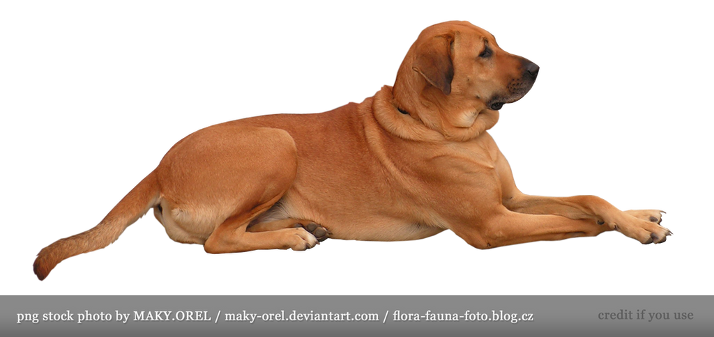 PNG STOCK: Golden dog
