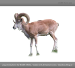 PNG STOCK: Wild sheep male